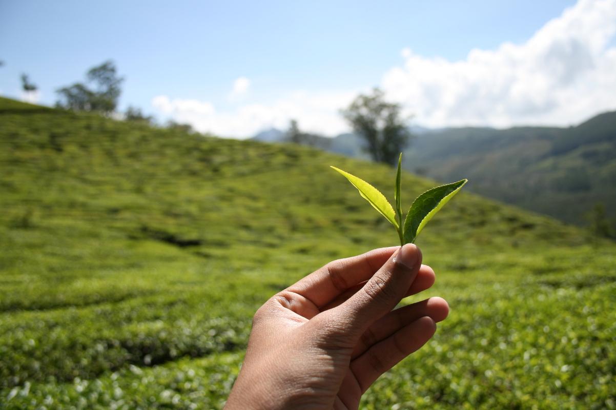 Holding tea leaf